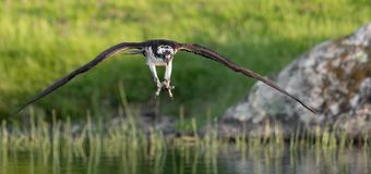 Osprey in Maine Royalty Free Stock Photo