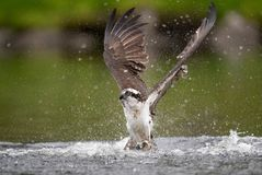 Osprey in Maine. Osprey fishing in Acadia National Park in Maine Royalty Free Stock Photography