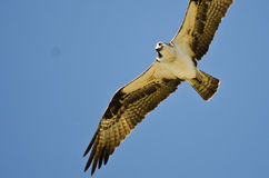 Osprey Making Eye Contact While Hunting on the Wing in a Blue Sky Stock Photography