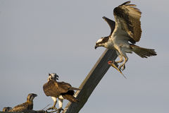 Osprey Male Brings Fish to Nest While Female and Chick Look On Stock Photography