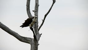Osprey masculino con los pescados almacen de metraje de vídeo
