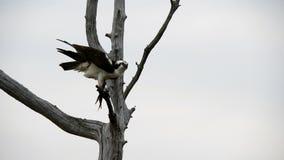 Osprey masculino con los pescados metrajes