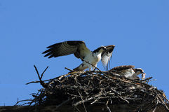 Osprey with mate. Mated osprey in nest with one feeding on prey stock photos