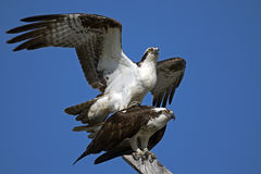 Osprey Mating Royalty Free Stock Photography