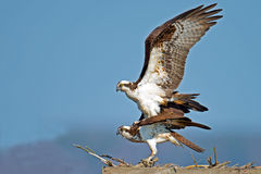 Osprey Mating. A rare shot of a male and female Osprey mating Stock Images