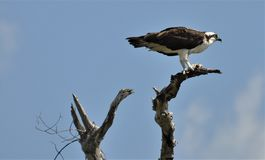Osprey  in Mexico. Osprey on the hunt in  the Yucatan, Mexico Royalty Free Stock Photos
