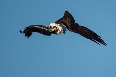 Osprey in mid roll Royalty Free Stock Photos