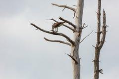 Osprey mit Fischen Lizenzfreie Stockfotografie