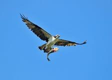 Osprey mit Fischen. Lizenzfreie Stockfotos