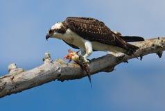 Osprey mit Fischen. lizenzfreie stockfotografie