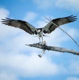 Osprey mit Fischen Stockfotos