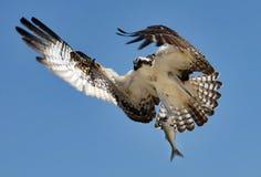 Osprey mit Fischen Lizenzfreie Stockfotos