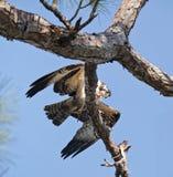 Osprey mit Makrele im Baum Stockfotografie