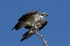 Osprey momentos antes de saca Fotos de archivo