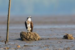 An Osprey dives perched on a rock stock photo