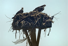 Osprey mother and father with their baby Royalty Free Stock Photo