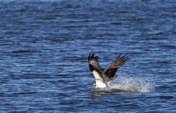 Osprey nella pesca dell'acqua Fotografia Stock Libera da Diritti