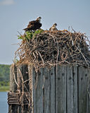 Osprey Nest. A mother osprey and her young in a nest  on a pier piling by the Chesapeake Bay on Maryland's Eastern Shore Royalty Free Stock Photos