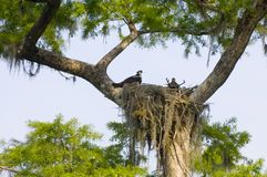 Osprey nest Royalty Free Stock Image