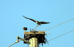 Osprey nest Stock Images