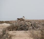 Osprey on a nest Stock Photo