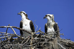 Osprey in nest. Horizontal stock photos