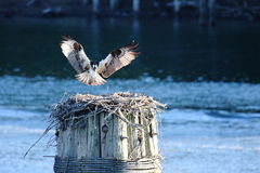 Osprey and nest. An osprey landing on its nest near the water Stock Image