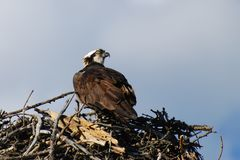 Osprey on nest Royalty Free Stock Images