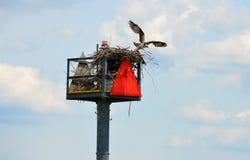 Osprey Nest Stock Photography