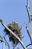 Osprey in Nest Stock Photo