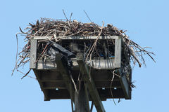 Osprey Nest Stock Photos