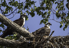 Osprey nest With Adolesent Chic. Birds Stock Images