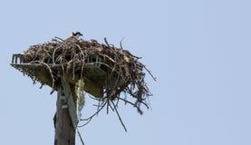 Osprey-Nest auf Stahlladeplatte Stockbilder
