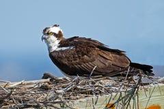 Osprey in Nest Box Royalty Free Stock Photo