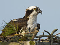 Osprey in Nest Box Stock Images