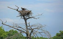 Osprey nest with chicks royalty free stock photo