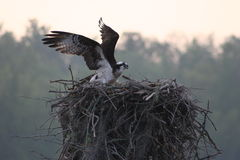 Osprey on Nest in Cow Island in The Atchafalaya Basin. Osprey Flying onto Nest in Cow Island in The Atchafalaya Basin stock images