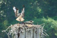 Osprey nest landing Royalty Free Stock Photography