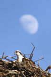 Osprey in Nest with Moon Royalty Free Stock Photos