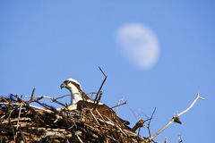 Osprey in Nest with Moon - Copy Space Hotizontal Stock Photo