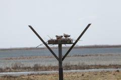 Osprey Nest Royalty Free Stock Photography