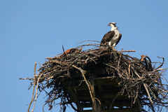 Osprey in nest, Pandion haliaetus. Osprey on the lookout Royalty Free Stock Photos
