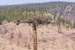 Osprey nest on a power pole Stock Images