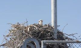 Osprey on a Nest on a Radio Tower Stock Photos