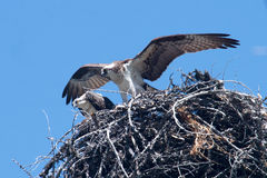 Osprey Nesting Royalty Free Stock Image