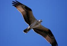 Osprey no vôo Foto de Stock Royalty Free