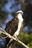Osprey nos marismas Fotografia de Stock Royalty Free