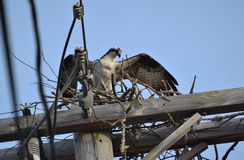 Osprey overlooking the nest building springtime royalty free stock image