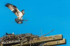 Osprey, pájaro de la jerarquía de Buiding de la presa, Canadá fotos de archivo