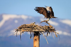 Osprey-Paar-Gebäude-Nest Lizenzfreie Stockfotos